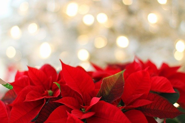 Red_Poinsettia_Christmas_Flower_and_Christmas_Lights